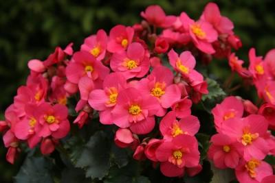 צמחי גן - צל